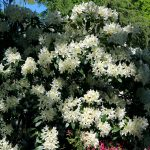 Rhododendron Hybride 'Cunningham's White' Blüte