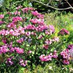 Rhododendron arbiculare