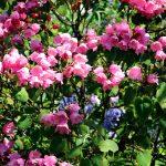 Rhododendron arbiculare Blüte
