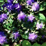 Rhododendron fastigiatum 'Intrifast' Blüte