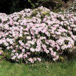 Rhododendron makinoi 'Fuju-kaku-no-matsu'