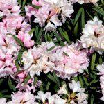 Rhododendron makinoi 'Fuju-kaku-no-matsu' Blüte