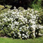 Rhododendron mucronatum 'Van Noordt'