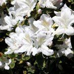 Rhododendron mucronatum 'Van Noordt' Blüte
