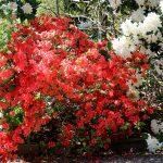 Rhododendron obtusum 'Kathleen'