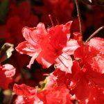 Rhododendron obtusum 'Kathleen' Blüte