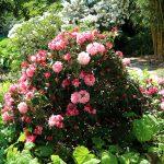 Rhododendron yakushimanum 'Emden'