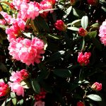 Rhododendron yakushimanum 'Emden' Blüte