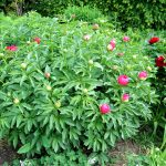 Paeonia officinalis 'China Rose'