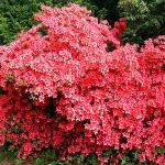 Rhododendron kaempferi 'John Cairns'