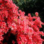Rhododendron kaempferi 'John Cairns' Blüte
