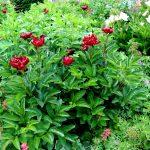 Paeonia Lactiflora-Hybride 'Barrington Belle'