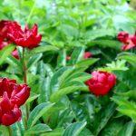 Paeonia Lactiflora-Hybride 'Barrington Belle' Blüte