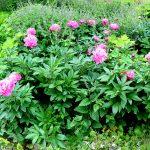 Paeonia lactiflora 'Eduard'