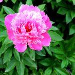 Paeonia lactiflora 'Eduard' Blüte