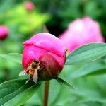 Paeonia lactiflora 'Eduard' Knospe