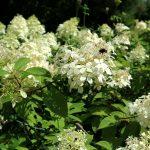 Hydrangea Blüte