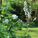 Apfelblüte (Mai)