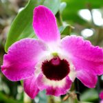 Dendrobium nobile 'Charm Star'