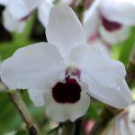 Dendrobium nobile 'Yukidaruma King'