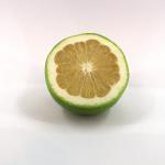 Süße Grapefruit (Citrus x paradisi)
