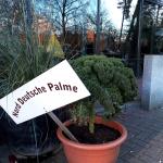 Norddeutsche Palme