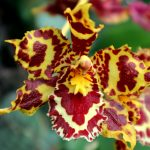 Odontoglossum-Hybride 'Burkard Holm'