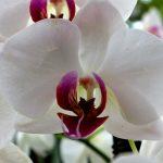 Phalaenopsis 'Christa Wichmann'