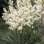 Yucca filamentosa 'Morgenglocke'